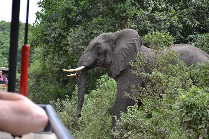 Elephant beginning to cross in front of jeep arusha national park tanzania