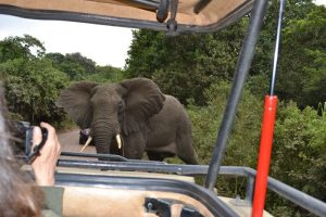 Elephant crossing in front of jeep arusha national park tanzania