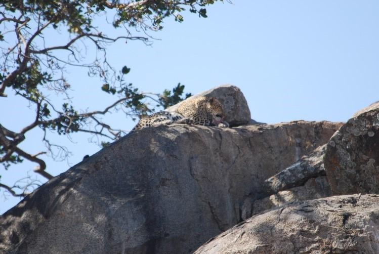 Leopard on rocks serengeti tanzania