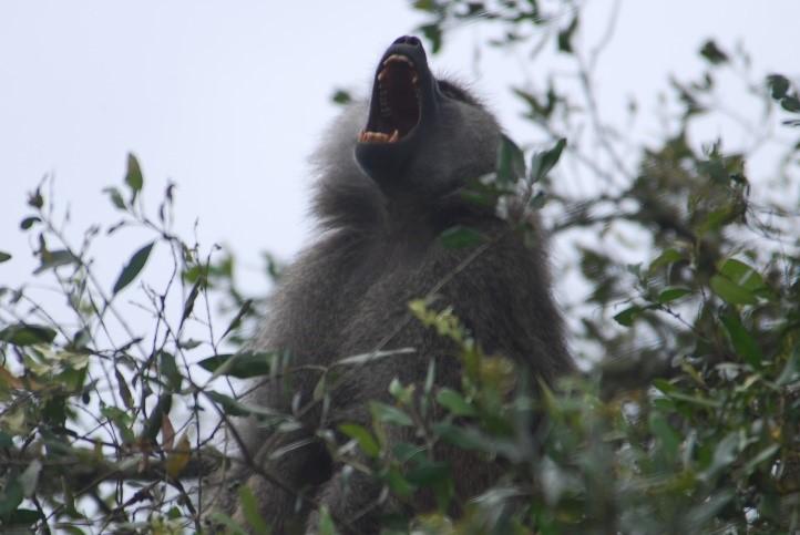baboon calling arusha national park tanzania