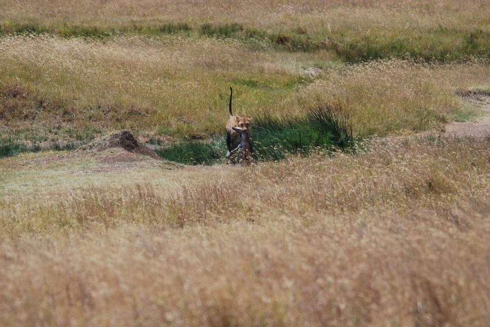 lioness caught her dinner serengeti tanzania
