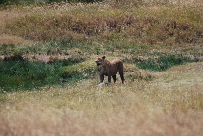 lioness taking a break after kill serengeti tanzania