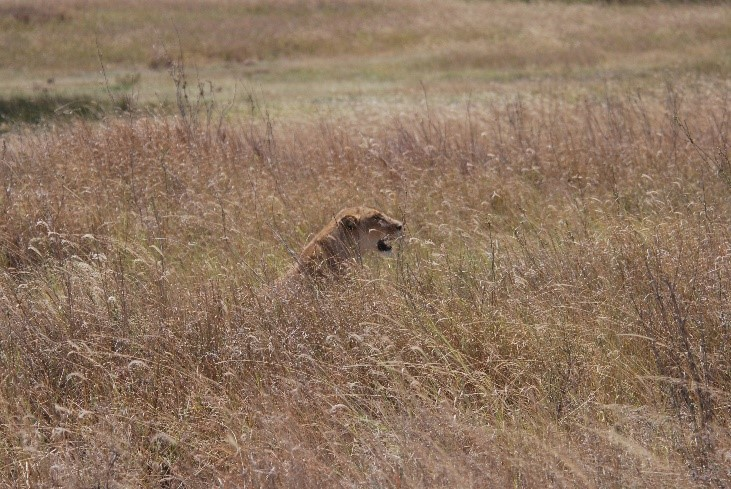 lioness watching gazelles serengeti tanzania