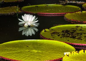 Giant water lily pads with a white water lily flower